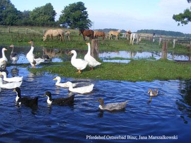 Enten und Gänse gemeinsam mit Pferden