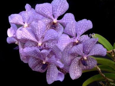 Orchidée VANDA bleue...