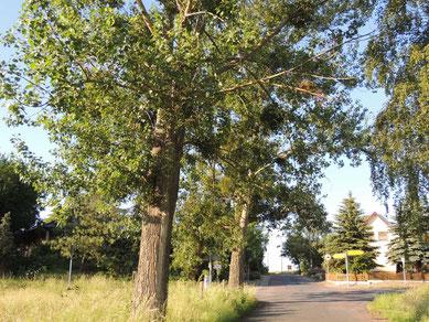 Da stehen sie, die beiden Bäume in denen lose Äste hängen.