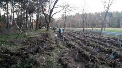 Hier werden die Bäumchen gerade gepflanzt, an einem Waldrand nahe Klinze.