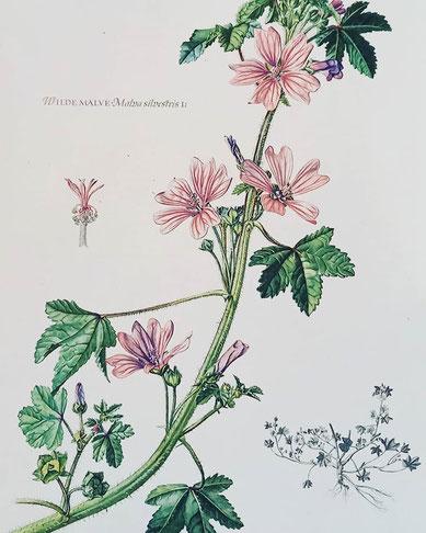 Pflanze Wilde Malve mittelgroße rosa Blüten