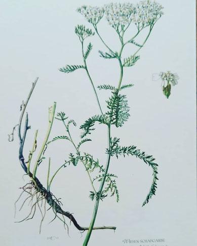 Pflanze Wiesenschafgarbe weißblühend kleine Blüten