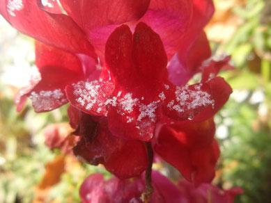 2017-12 Petra Bosshard-Zwerenz - rotes Blütenherz mit Eisbart