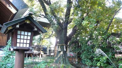 東京大神宮の「ご神木」に毎年しめ縄をご奉納しています