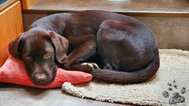 Zu viele Äpfel sind nicht gut für einen jungen Labrador ...