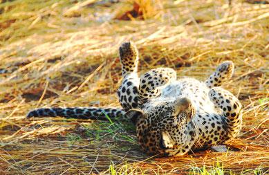 suedafrika-leopard-safari-sabi-sand
