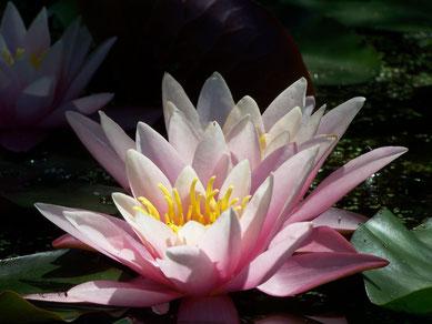 lotus dans le jardin des Sambucs
