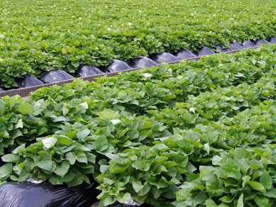 バイオ苗を利用したサツマイモ畑の風景