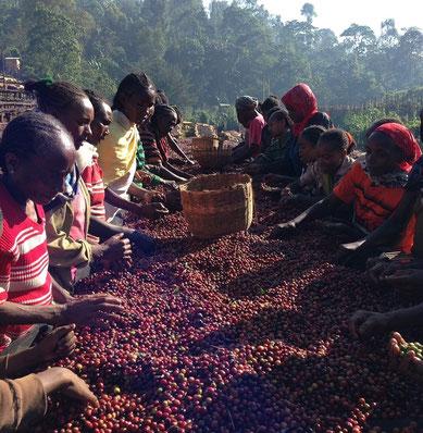 nurucoffee : Äthiopische Frauen auf Kaffee Plantagen