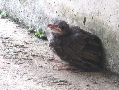 巣立ったヒヨドリのひな
