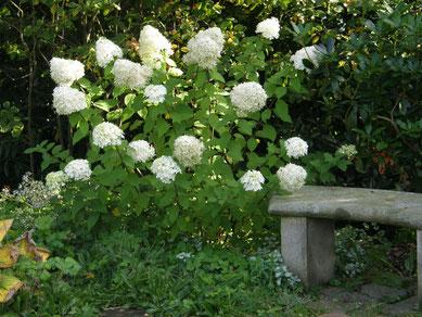 Weißer Garten Sissinghurst lieblings hortensie ich bin im garten de