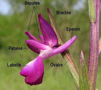 Descriptif d'une fleur d'Anacamptis laxiflora