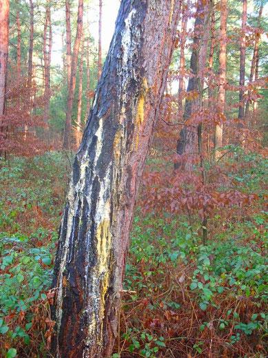 Kiefernharz Harz sammeln Räucherharz Räuchern Waldweihrauch Harz Räucherwerk Nadelhölzer