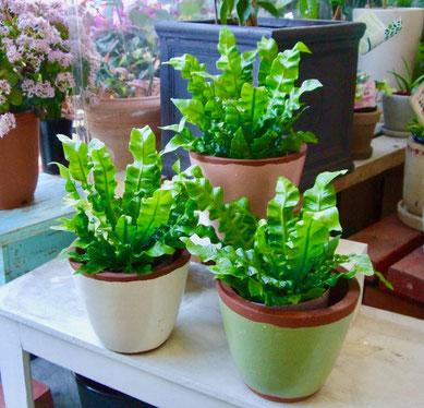 練馬 桜台 ガーデニングショップ かのはの アスプレニウムのエメラルドウエーブです 鉢も暖かみがあって オススメのコーディネート 植物を元気に育てるため 植え替えをオススメ 練馬 桜台 ガーデニングショップ かのはの  植え替えを致します