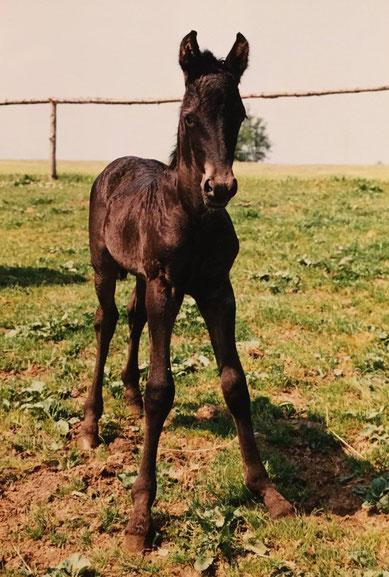 Das ist ROMEO - am 12.05.1989 geboren -   das ERSTE Friesenfohlen in Österreich!
