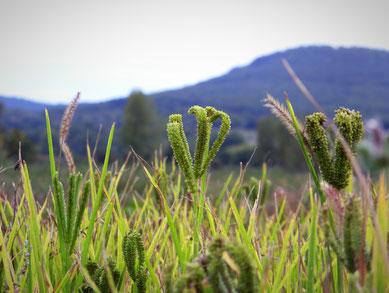 culture de ragi davant les montagnes de l'Aude