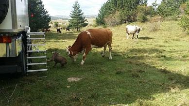 Schrumpel hat Kühe von seiner Liste der freundlichen Tiere gestrichen