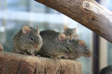 Die Nachzucht von Arvicanthis-Arten stellt kein Problem dar