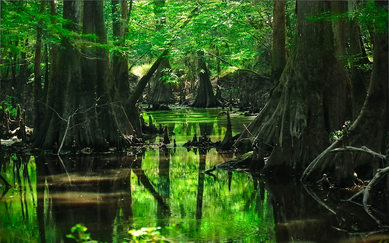 http://www.mrwallpaper.com/wallpapers/forest-tree-swamp-1920x1200.jpg