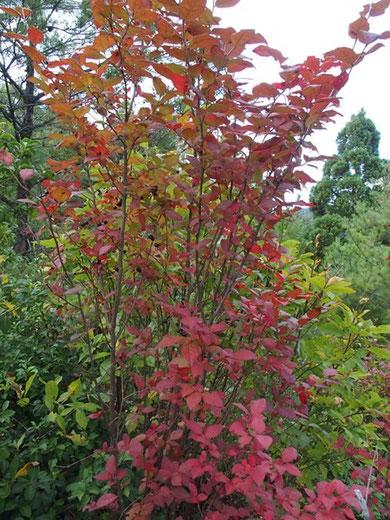 この木も自己主張が好きのようです。真っ赤な葉っぱに真っ黒の実を付けている