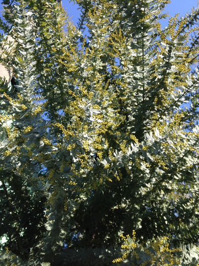 ミモザアカシアの花芽も膨らんできました。今年は剪定を軽くしたので沢山花が咲きそうです。