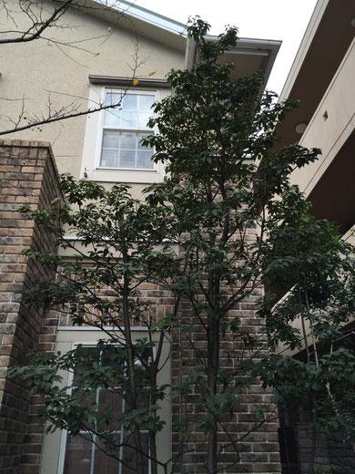 柴垣グリーンテックに植わっているソヨゴ。途中まで枯れてしまったのですが、成長スピードが遅いので中々再生しない。