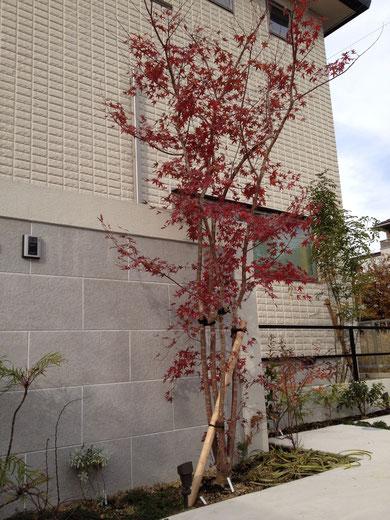 この赤はイロハモミジにしか出せません 美しい紅葉です 2015.1.30追加
