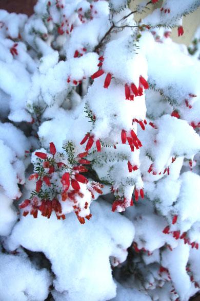 エリカは雪でクリスマス色になった
