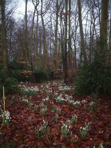 まるでおとぎの国 スノードロップの群生したイギリスの森