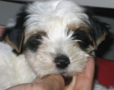 Biewer Yorkshire Terrier a la Pom Pon