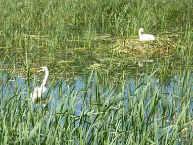Schwänenpärchen beim Brüten    Zél-puszta Gewässer Revier3