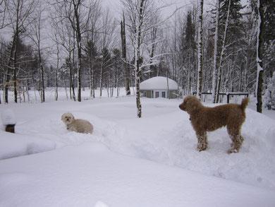 Hiver 2013.... tellement de neige, qu'on ne voit même plus la clôture... les chiens ont donc une immense cour avec le Golf en arrière  !!!