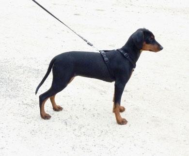 Black-Bonita (Bonny) 16 Wochen alt.