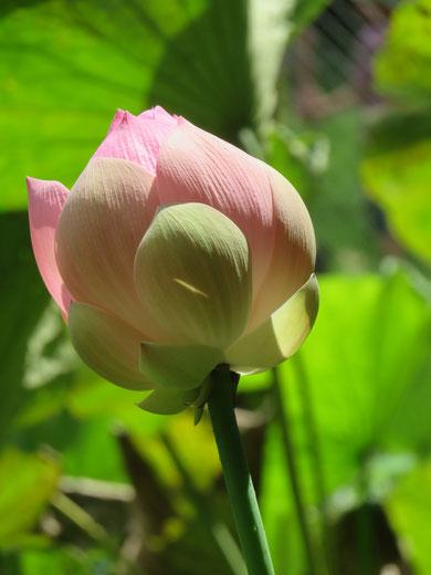 Im Buddhismus ist das Herz der Dinge wie eine ungeöffnete Lotusknospe. Erst wenn sich alle Tugenden Buddhas entwickeln, kann sie sich öffnen und die ihr inne liegende Schönheit wird offenbar.
