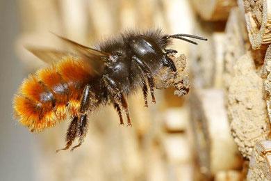 Gehörnte Mauerbiene im Anflug an Niststängel