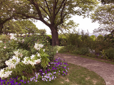港の見える丘公園にて 百合の花と背景にベイブリッジ
