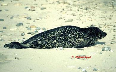 Seehund auf der Helgoländer Düne