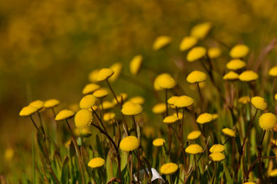Cotula coronopifolia L. - Porticiu (20A) - 18-04-2010