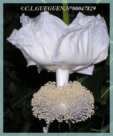 Magnifique fleur du Baobab