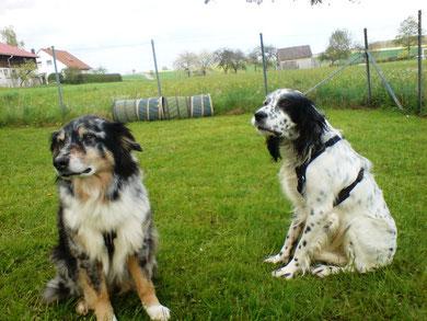 Dieser engl. Setter hatte ein Angsttrauma und Yassie sorgte dafür, dass er keine Angst mehr vor Hunden haben muß