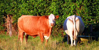 Rinder in Norden