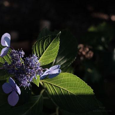 7月の日没前の紫陽花