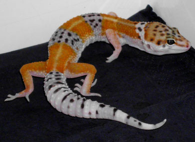 Tangerine Banded (non Albino Tangelo)