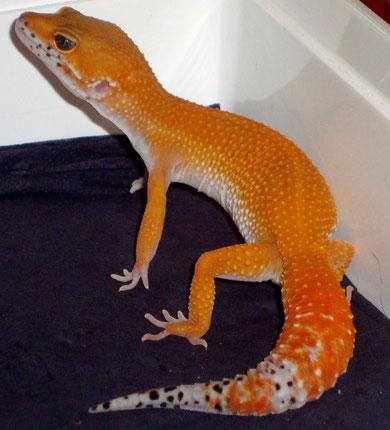 Extreme Tangerine het. Tremper Albino