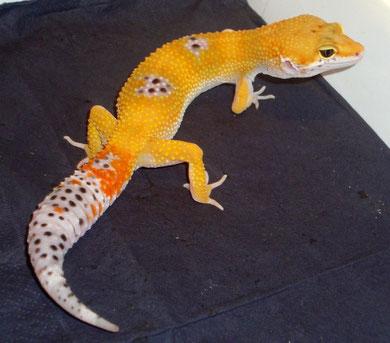 Tangerine het.Tremper Albino