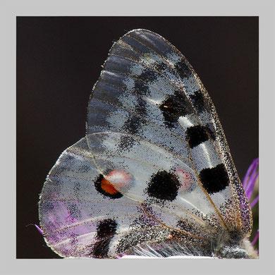 Man sieht durch die Flügel hindurch die Blätter der Flockenblume