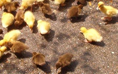 Crias de pato Khaki Campbell (marrones) y Pekín (amarillas)