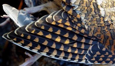 L'aile, on remarque bien que les franges de la couverture primaire sont claires et fines signes d'une bécasse adulte dans la plupart des cas...