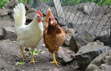 Hühner auf dem Rothenberg (Mai 2012)