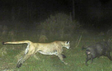 Panther chasing feral hog--unknown location